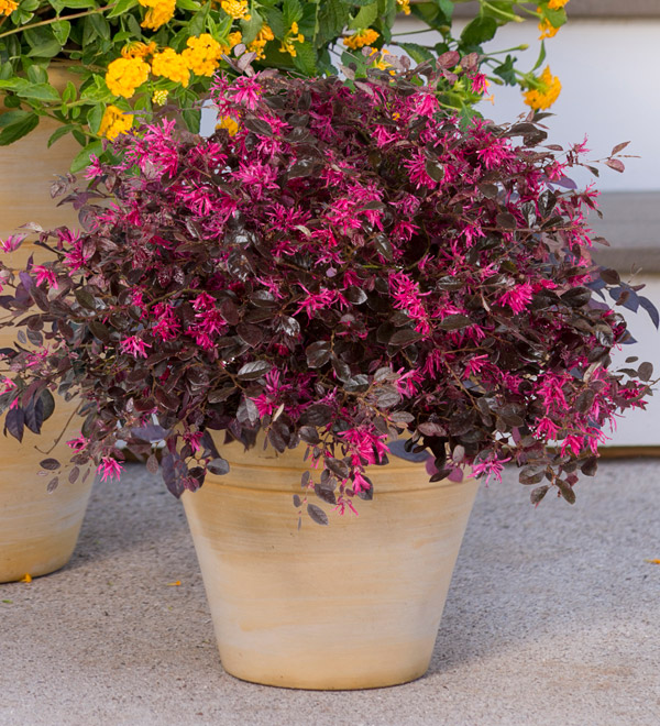 Purple Diamond® Semi-dwarf Loropetalum