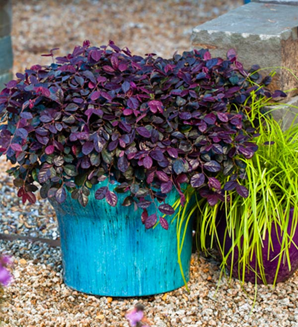 Purple Pixie® Dwarf Weeping Loropetalum