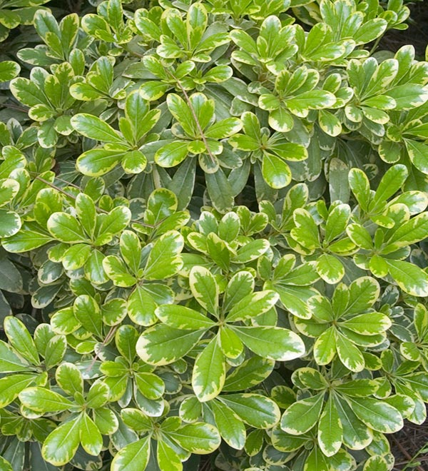 Mojo® Pittosporum