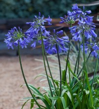 Ever Sapphire™ Agapanthus