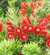Light Show® Red Bottlebrush