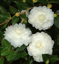 October Magic® White Shi-Shi™ Camellia