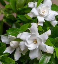Fool Proof™ Gardenia