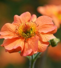 'Totally Tangerine' Geum