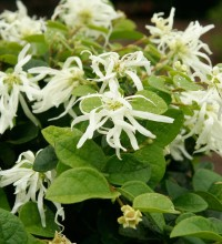 Emerald Snow® Loropetalum