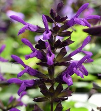 Nectar Purple™ Salvia