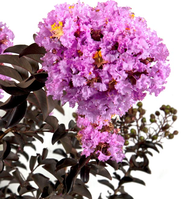 Delta Eclipse™ Lagerstroemia
